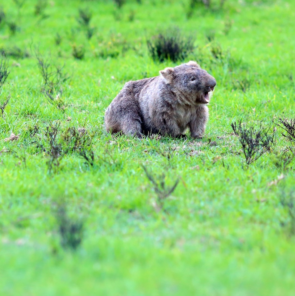 wombat 📻 logo